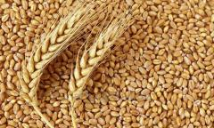 Wheat grade 2, protein 12.5% packing PP bags 50 kg