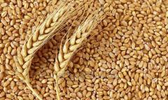 گندم درجه 2، پروتئین کیسه های 12.5٪ PP بسته بندی 50 کیلوگرم