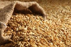 Barley fodder WITHOUT GMO from 500 tons in bulk /