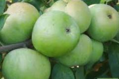 Apples Reinette Simirenko