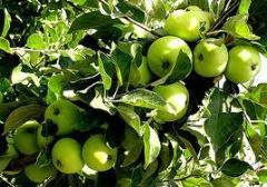 Apples of winter grades wholesale