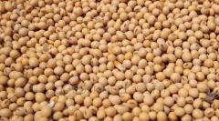 Soybean Without GMO protein min 31% in bulk or in