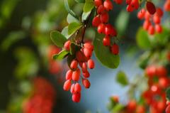Barberry. Barberry berries. The barberry is dried.