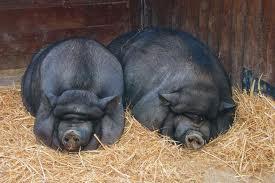Lợn ỷ Việt Nam