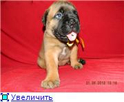 Puppies of a bullmastiff are on sale