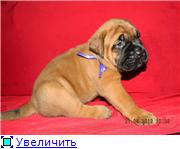 Pets, puppies of dogs BULLMASTIFF