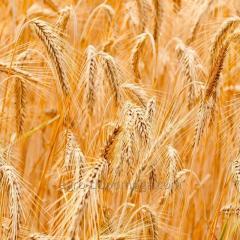 Озимая пшеница НС 40С элита
