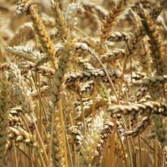 Озимая пшеница НС Футура элита