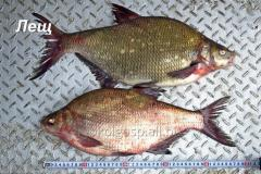 Bream fresh and fresh-frozen