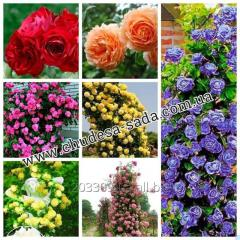 Розы Чайно-гибридные, английские  плетистые