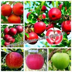 Саженцы яблони большой выбор 60 новых сортов.