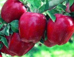 Apple-tree sapling grade Starkrymson