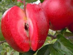 Яблоня сорт Одиссо