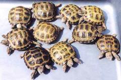 Черепаха степная среднеазиатская (Testudo