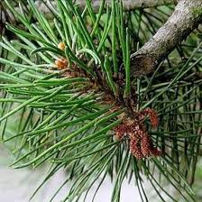 Coniferous extract from the producer
