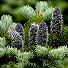 Essential oil of the Siberian fir
