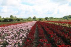 Трояндове поле