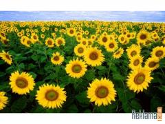 The sunflower is fodder, the Luhansk Region.