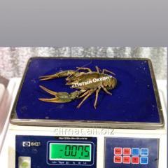 Раки живые крупные 60 грамм +