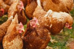 Комбикорм рост для кур-несушек 9-17 недель (ПК