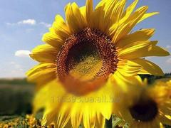 Українське солнишко