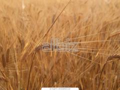 Культуры зерновые, Злаки, Кукуруза на стержне