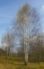 Saplings of a birch fluffy and warty