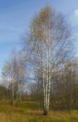 Birch sapling
