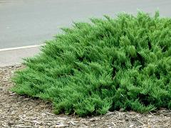 The juniper is Cossack, to order wholesale, the