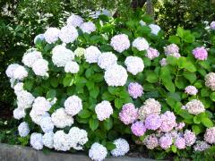 Hydrangea, wholesale, Bila Tserkva, garden center,