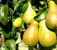 Pear saplings Bør Bosk cultivation sale delivery