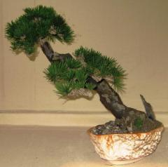 Coniferous compositions Bonsai