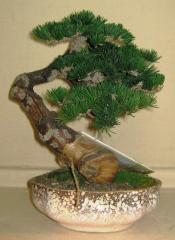 Natural compositions Bonsai