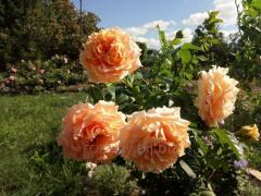 Плетистая роза Полька 91 (Polka 91)