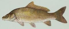 Fish fresh silver carp, grass carp, carp
