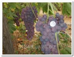 Саженцы столового винограда без косточек