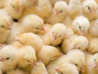 Суточные цыплята бройлеры COBB 500 ( КОББ 500)