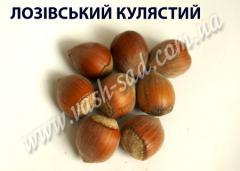 Фундук Лозовский шаровидный 1 річнний