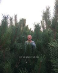 Pine Crimean Ukraine