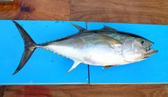 Tuna yellowfin