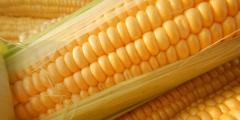 Кукуруза Плевен
