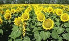 Подсолнечник Украинское солнышко