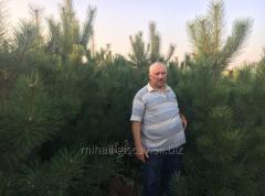 The Crimean pine from nursery