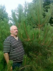 We sell a New Year's pine wholesale from
