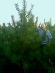 Fir-tree and pine New Year's of nursery