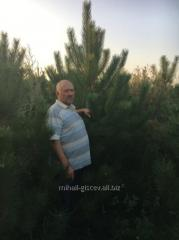 Pine Crimean of nursery
