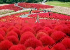 20 семян травы Kochia Scoparia Неопалимая купина