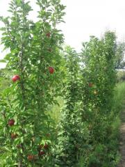 Розничная продажа саженцев фруктовых деревьев: