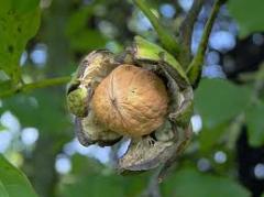 Nutlets walnut in shell
