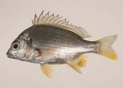 Gilthead (Yellowfin)